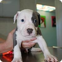 Adopt A Pet :: A Rose Puppy 4 - Pompano Beach, FL