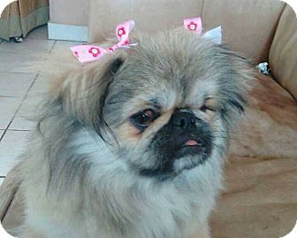 Pekingese Dog for adoption in San Diego, California - Lily