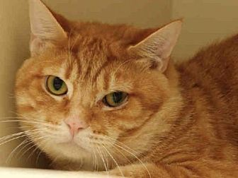 Domestic Mediumhair Cat for adoption in Pittsburgh, Pennsylvania - TRILLIUM