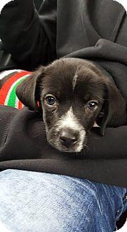 Beagle/Shih Tzu Mix Puppy for adoption in Sugar Grove, Illinois - Marty
