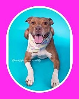 American Staffordshire Terrier Mix Dog for adoption in Mt. Clemens, Michigan - Miley