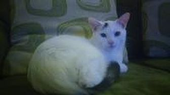 Domestic Shorthair Cat for adoption in Crown Point, Indiana - Milos