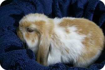 Lop, Holland Mix for adoption in Harrisburg, Pennsylvania - Kisses