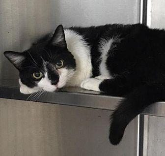 Domestic Shorthair Cat for adoption in Furlong, Pennsylvania - Brittany