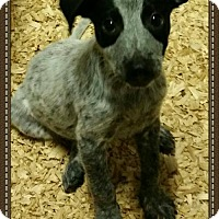 Adopt A Pet :: Justin - Granbury, TX