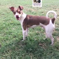 Adopt A Pet :: Bryer - Killeen, TX