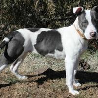 Adopt A Pet :: Heather - Lakeside, AZ