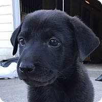 Adopt A Pet :: Hero - Tumwater, WA
