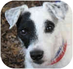 Jack Russell Terrier Mix Dog for adoption in Eatontown, New Jersey - Brando