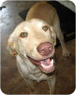 Labrador Retriever Dog for adoption in Largo, Florida - Pluto