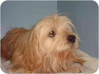 Cocker Spaniel/Lhasa Apso Mix Dog for adoption in Bristow, Oklahoma - Winston