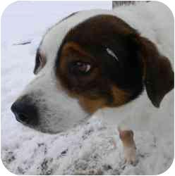 Terrier (Unknown Type, Medium)/Labrador Retriever Mix Dog for adoption in Kansas City, Missouri - Courtesy List-Bullwinkle {Urg}
