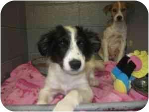 Border Collie Mix Dog for adoption in Henderson, North Carolina - Petie