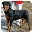 Photo 3 - Rottweiler/Labrador Retriever Mix Dog for adoption in Dallas, Texas - Susie