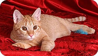 Domestic Shorthair Cat for adoption in Nashville, Tennessee - Hilary