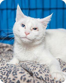 Domestic Mediumhair Cat for adoption in Gaithersburg, Maryland - Iris