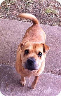 Shar Pei Dog for adoption in Mira Loma, California - Pork Chop in OK