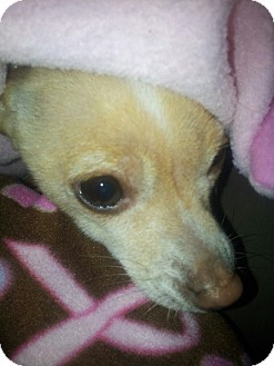 Chihuahua Mix Dog for adoption in Yelm, Washington - Finny