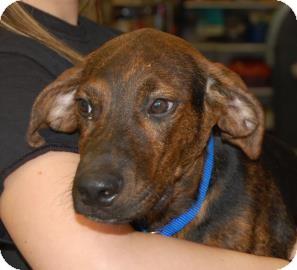 Labrador Retriever/Hound (Unknown Type) Mix Puppy for adoption in Brooklyn, New York - Robert Paulson