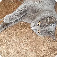 Adopt A Pet :: Corraline - Tucson, AZ