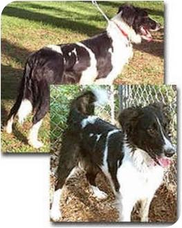 Border Collie Dog for adoption in Stephentown, New York - Kye