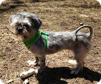 Shih Tzu/Lhasa Apso Mix Dog for adoption in Milton, Massachusetts - Darla