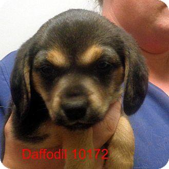 Beagle/Pug Mix Puppy for adoption in Manassas, Virginia - Daffodil