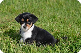 Terrier (Unknown Type, Small) Mix Puppy for adoption in MARION, Virginia - Lollipup
