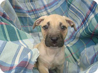 Labrador Retriever/American Staffordshire Terrier Mix Puppy for adoption in Old Bridge, New Jersey - Ida