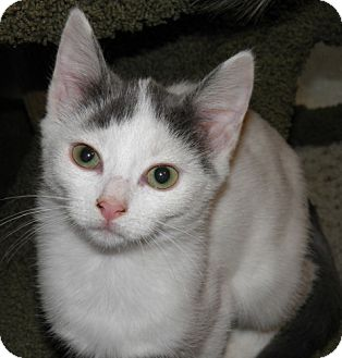 Domestic Shorthair Kitten for adoption in Lisbon, Ohio - Janet - ADOPTED!