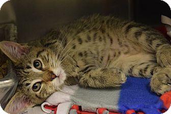 Domestic Shorthair Kitten for adoption in Windsor, Virginia - Macchiato