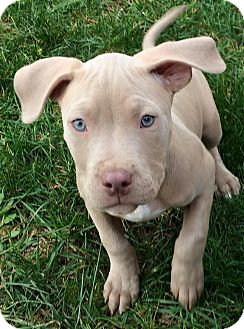 Pit Bull Terrier/American Pit Bull Terrier Mix Puppy for adoption in Dayton, Ohio - Christine