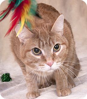 Domestic Shorthair Cat for adoption in Chicago, Illinois - Gingersnap