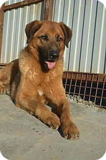 Chow Chow/Labrador Retriever Mix Dog for adoption in Morristown, New Jersey - Phillip