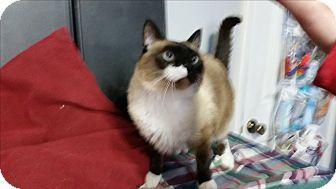 Snowshoe Cat for adoption in Fairborn, Ohio - Matthew