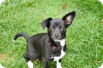 Chihuahua Mix Puppy for adoption in Meridian, Idaho - Rosie