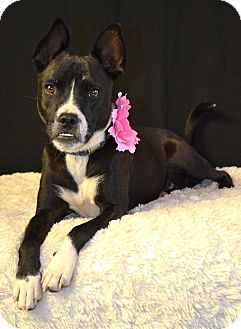 Boston Terrier Mix Dog for adoption in Snyder, Texas - Gracie