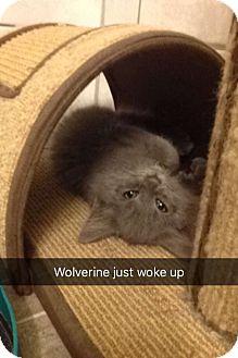 Domestic Shorthair Kitten for adoption in Dale City, Virginia - Kittens - Gray Mystique