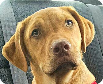 Labrador Retriever/German Shepherd Dog Mix Puppy for adoption in Oakley, California - Dixon/Fin - Courtesy List