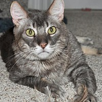 Adopt A Pet :: Toshia - Roseville, CA