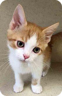 Domestic Shorthair Kitten for adoption in Gahanna, Ohio - Dallas