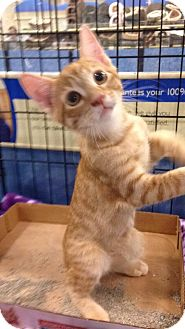 Domestic Shorthair Kitten for adoption in Gainesville, Florida - Mandarin