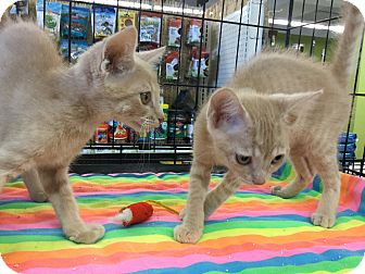 Domestic Shorthair Kitten for adoption in Gilbert, Arizona - Chandler & Cooper