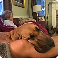 Adopt A Pet :: Scarlett - Fayetteville, AR