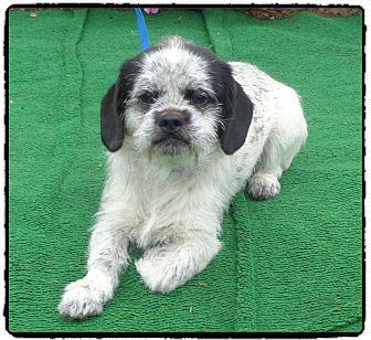 Pug/Beagle Mix Dog for adoption in Marietta, Georgia - RINGO