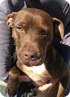 Pit Bull Terrier/Labrador Retriever Mix Dog for adoption in Los Angeles, California - MABELLE