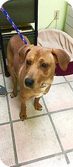 Labrador Retriever Mix Dog for adoption in Newburgh, Indiana - Dougie