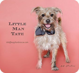 Cairn Terrier/Schnauzer (Miniature) Mix Dog for adoption in Houston, Texas - Tate