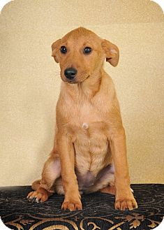 Terrier (Unknown Type, Medium)/Labrador Retriever Mix Puppy for adoption in Colmar, Pennsylvania - Izzy