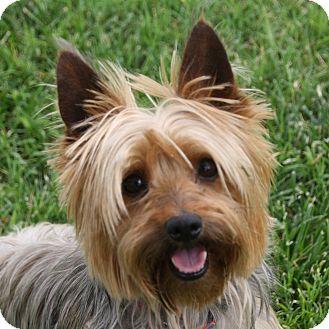 Yorkie, Yorkshire Terrier/Silky Terrier Mix Dog for adoption in Edmonton, Alberta - Truman